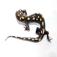 Spotted salamanders have always attracted a cult following of fans due to their submissive nature, ease of captive care and relative obscurity in the pet trade.