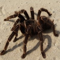 Tarantulas have been a relatively popular pet now for several years.