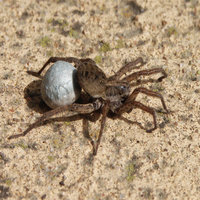 Wolf spiders are relatively easy to keep if you keep in mind some basic requirements.