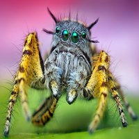 Among arthropods, jumping spiders, or salticids, are known for their superior eyesight.