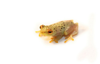 Frogs can make lovely pets, but frogs in the wild are facing population declines and extinction largely as a result of human activities. Unfortunately, the pet trade is likely contributing to the amphibian extinction crisis and the spread of an devastatin