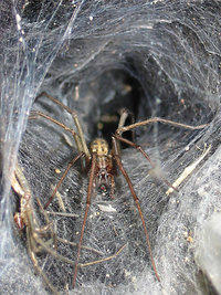 Funnel weaver spiders (Agelenidae) closely resemble wolf spiders and the males sometimes resemble hobo spiders.