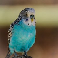 Budgies (budgerigars) are an extremely popular pet bird, and for good reason.