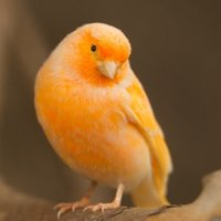 Canaries are known for their beauty and their song and have been kept as pets since the 1400s.