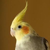 Cockatiels are one of the smallest parrots in the parrot family, and make lovable and intelligent pets.