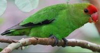 Blackwinged Lovebird Male