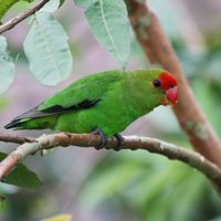 Relatively low, one of the least noisy lovebird species