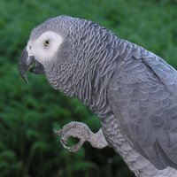 The African Grey Parrot is a wonderful and highly intelligent bird.