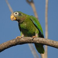 The Amazon parrot is an independent, playful bird that will always keep you entertained with its excellent talking and singing abilities.