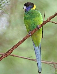 Twenty-Eight Parakeet