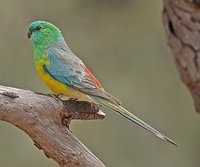 Red-Rumped Parakeet