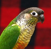 Black Capped Conures are small conures, reaching a length of approximately 10 inches from the beak to the tips of the tailfeathers.