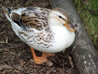 Miniature Appleyard Duck