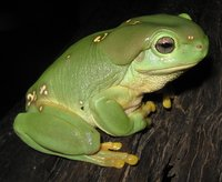 Whites tree frogs are found throughout Indonesia and the tropical north of Australia. They are large, heavy-bodied frogs, and range in color from maroon, to bright green to even blue! There is often variation among the color of adult frogs based on their
