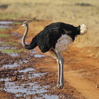 The flightless ostrich is the world's largest bird.