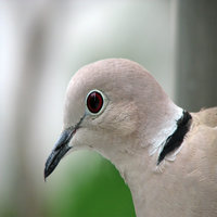 The Ringneck Dove is easily the most commonly kept dove in captivity.
