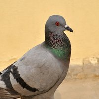Pigeons make great pets both indoors as part of the family or outside in a rodent and predator-proof aviary.