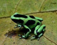These frogs are highly variable in color, and can range from light to dark brown, bronze or black, with green to blue stripes, spots, or bands covering them.