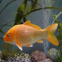 Carp are various species of oily, freshwater fish of the family Cyprinidae,