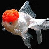The goldfish (Carassius auratus auratus) is a freshwater fish in the family Cyprinidae of order Cypriniformes.