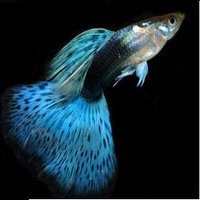 The guppy (Poecilia reticulata), also known as millionfish and rainbow fish.
