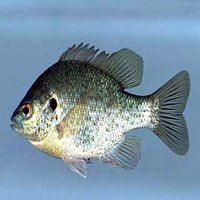 Tilapia is the common name for nearly a hundred species of cichlid fish from the tilapiine cichlid tribe.
