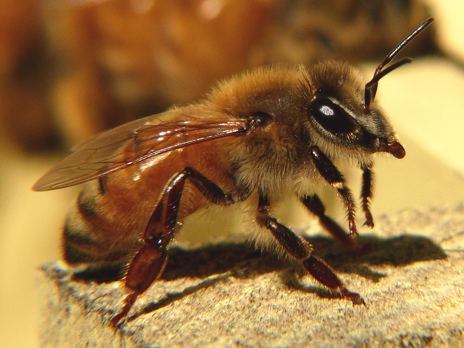 The bumble bee is the most common type of bee with around 250 different species of the bumble bee found around the world.