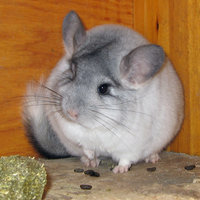 Chinchillas are medium sized rodents native to the Andes mountains in South America.
