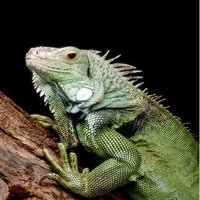 Iguanas are native to the jungles of central and south America, and the Caribbean.