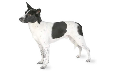 Mexican Small Dog Breed Terrier Wire Hair