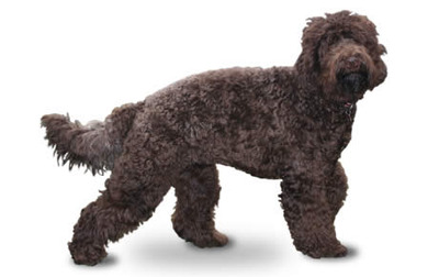 Dog | Petbeings.com American Water Spaniel Dogtime