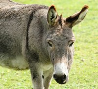 Donkeys were supposedly domesticated around 5000 years ago in the north east of Africa from the Somali wild ass. The domestication if donkeys soon spread across the globe, with people mainly using the donkeys to help carry heavy loads and transport goods