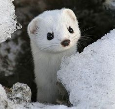 This bold little carnivore is found throughout all of Canada, the northern United States, Europe and Asia. In summer, the ermine's coat is a rich chocolate brown above and creamy white below. The tip of its tail is black. In winter, the colour changes to