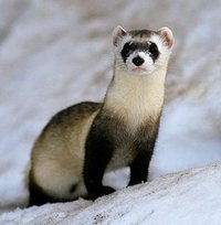 The ferret is a domestic animal thought to be native to Europe. The ferret is thought to be a subspecies of polecat and the ferret has the same long shaped body as a polecat and a weasel.