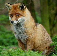 Domestication started just 55 years ago, but because Russian geneticists methodically bred just the friendliest foxes, a handful of charming, domesticated and trainable foxes are available today.