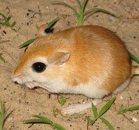 Gerbils are naturally found in the sandy plains of Africa, Asia and the Middle East. The gerbil was originally known as a desert rat until they were commercially introduced to North America and bred as pets.