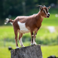 Goats originated from the mountainous areas of west Asia and eastern Europe, grazing on hillsides and plains. Modern day common goats are known as domesticated goats and are thought to be very closely related to a sheep.