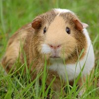 The guinea pig is found in the Andes mountains in South America, were it is used as a stable food source for the local peoples. Todays domestic guinea pig is thought to be a subspecies of the Andes guinea pig and therefore cannot be found in the wild.