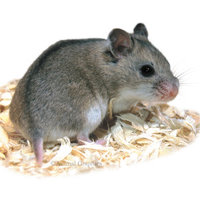 Hamsters are thought to be originally from the desert lands of east Asia, including hamster species such as the common Syrian hamster and the miniature Russian dwarf hamster. Hamsters in the wild tend to spend most of their time digging and foraging for f