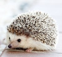 The typical pet hedgehog weighs between 6 ounces and 2 pounds and requires approximately the same amount of space as a guinea pig.
