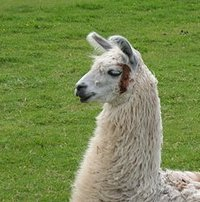 The llama is thought to have originated in North America around 40 million years ago and the llama is believed to have then migrated to South America and Asia around 3 million years ago, before the American and Asian continents finally separated at Alaska