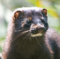 The American mink is a semiaquatic species of mustelid native to North America, though human intervention has expanded its range to many parts of Europe and South America.