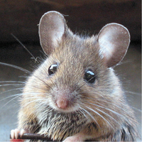 The mouse is a small rodent that is spread widely throughout nearly every country. The mouse is found in all corners of the globe, including parts of Antarctica.