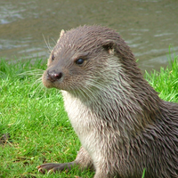 The otter is a small mammal that lives both in water and on land. There are 13 known species of otter that inhabit areas all around the world.