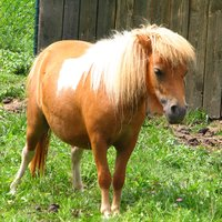 First of all, they are real horses, very small ones, but nevertheless, should be treated as horses.