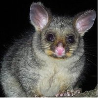 The possum is a medium-sized marsupial that is natively found in Australia, Papua New Guinea and Sulawesi, which is a tropical island found in the Indonesian Archipelago. Today the possum has also been introduced to New Zealand and parts of China.