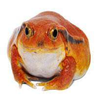 The Madagascan Tomato Frog is found only in Madagascar and there they are limited to the northwestern part of the island.