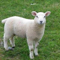 It is thought that the domestic sheep originated from central Europe and Asia. Today, there are at least 1 billion sheep on the planet, with commercial sheep farming most commonly found in New Zealand, Australia, parts of North America and the United King