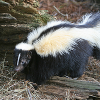 The skunk (also known as the polecat) are most commonly known for their ability to secrete a foul, strong smelling odor from their rear end, when the skunk feels that it is under threat.