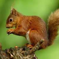 There are many different species of squirrel natively found in the Americas, Europe, Asia and Africa. Squirrels are small rodents generally between 10 cm and 20 cm tall, although some species of squirrel like marmots and prairie dogs around the size of a